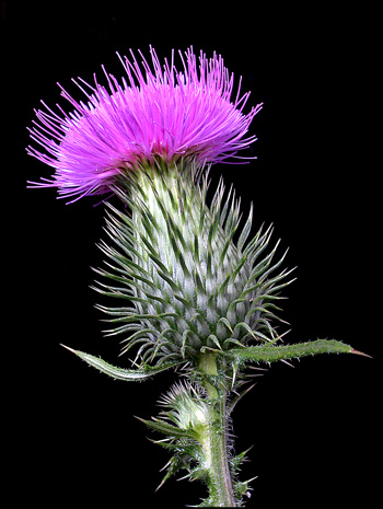 The thistle: a national symbol